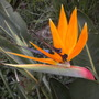 Strelitzia reginae - Bird-of-Paradise Flower (Strelitzia reginae - Bird-of-Paradise)