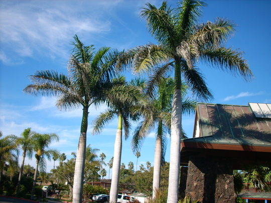 Roystonea regia - Royal Palms at the entrance of the Catamaran Hotel (Roystonea regia - Royal Palm)