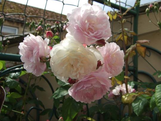 Blushing blooms. (Rosa 'Blush Noisette/ Noisette Carnee)