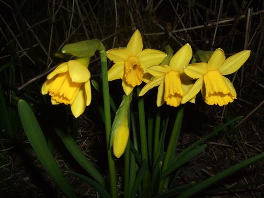 Tete a Tete Narcissi (Narcissus Tete a Tete)