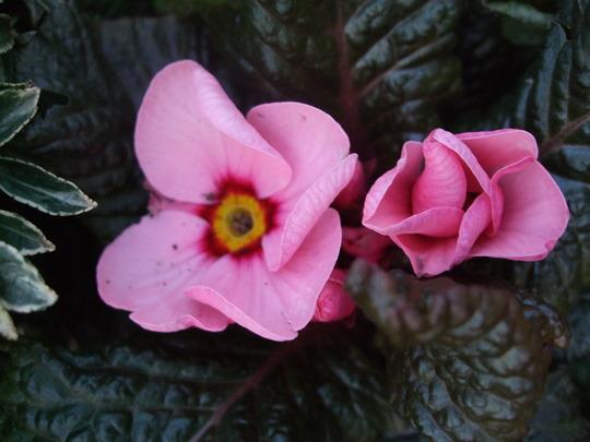 Wanda 3 (Primula)