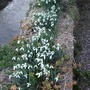 Snowdrops_in_the_wall_by_the_stream