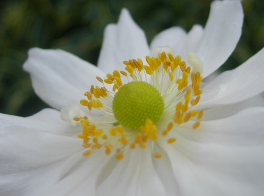 Japanese Anemone 'Whirlwind''