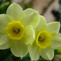 narcissus &#x27;minnow&#x27;