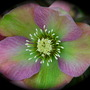 Helleborus occidentalis