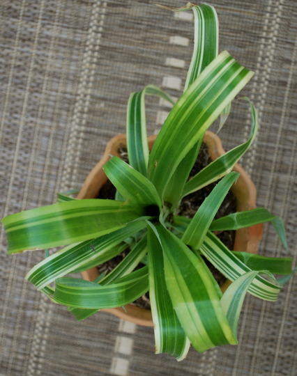 Bromeliad for the jungle garden... (Billbergia nutans variegata.)