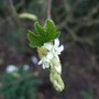 First flower on Ribes sanguineum. (Ribes sanguineum 'White Icicle')