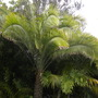Phoenix rupicola - Indian Date Palm (Phoenix rupicola - Indian Date Palm)