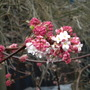 winter viburnum (viburnum bodnantense)