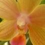 Phaleanopsis close up (Orchid)