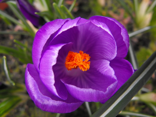 Crocus 4....the last one