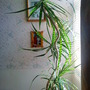 Dragon Tree (Dracaena marginata)