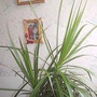 Dragon tree 21-09-2007 (Dracaena marginata)