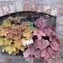 Heucheras for containers