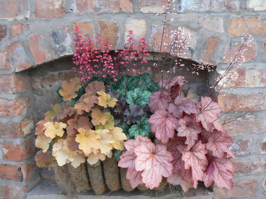 Fabulous Heuchera baskets