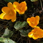 A welcome sight...:o) (Crocus)