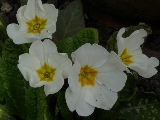 Pretty Primrose (Primrose)