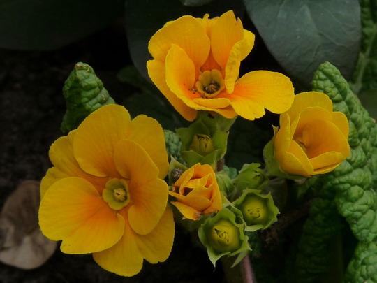 Golden Primrose (Primrose)