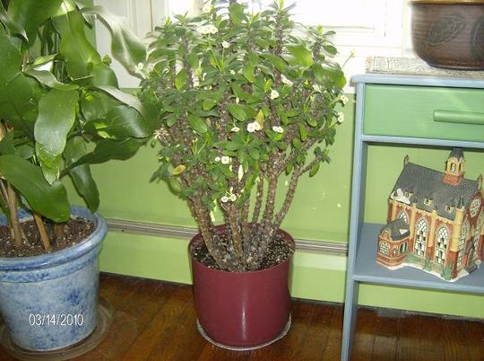 White crown of Thorns ( euphorbia milii )