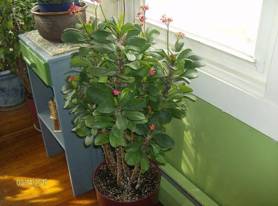 Red Crown of Thorns ( euphorbia milii )