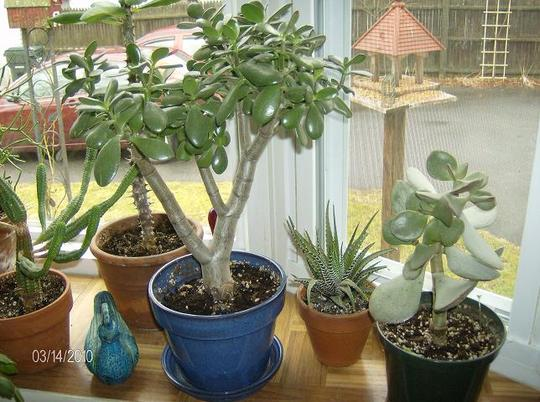 Jade and on the right, Silver Dollar Jade