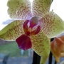 Beautiful_orchid_craigs_gift_to_jill