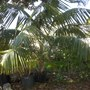Howea fosteriana - Kentia Palm (Howea fosteriana - Kentia Palm)