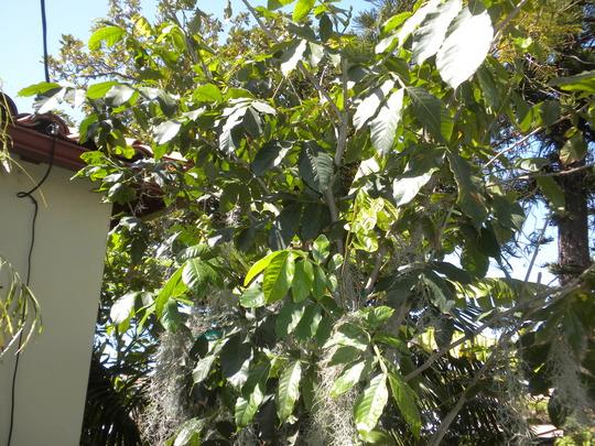 Inga edulis - Ice Cream Bean tree  (Inga edulis - Ice Cream Bean tree)