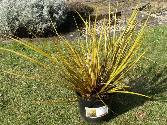 Grass '  Gold Finger ' (Libertia)