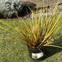 Grass &#x27;  Gold Finger &#x27; (Libertia)