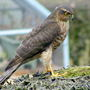 Female Sparrowhawk        (Garden Photo)
