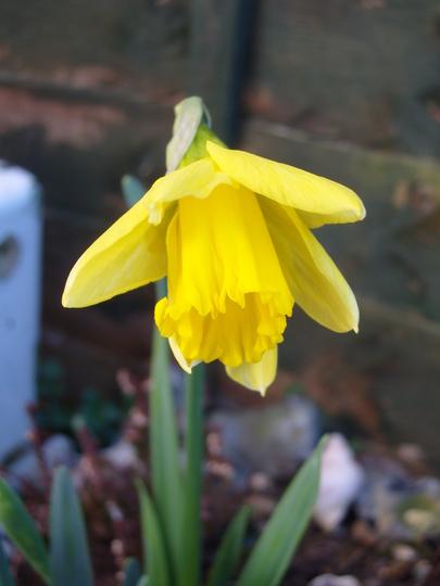 First  Daffodil