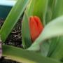 My First Tulip