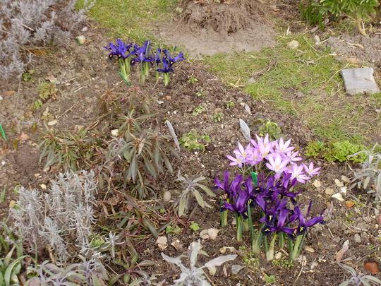 violet beauty in the back ground (Iris reticulata (Iris))