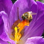 A Bee Enjoying A Crocus 4 Breakfast