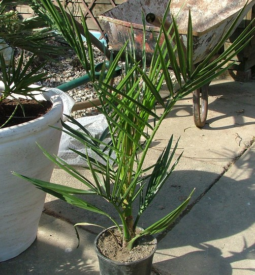 canaries date palm