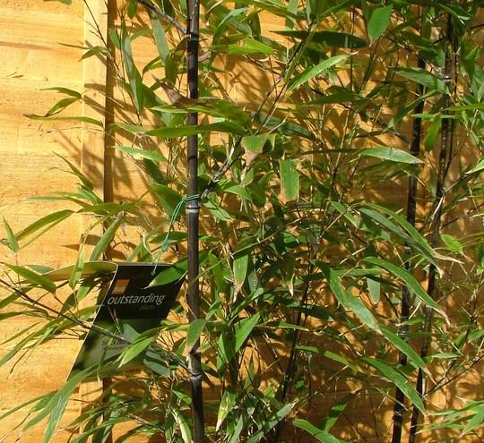 close-up of black bamboo