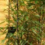 close-up of black bamboo