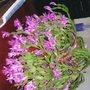 xmas cactus