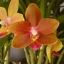 Phaleanopsis  (Orchid)