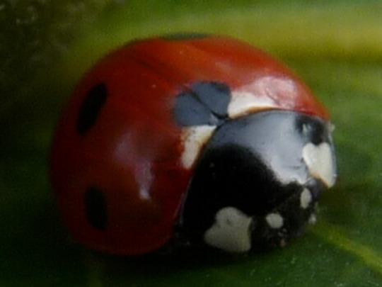 Ladybird ladybird fly away home......