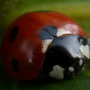 Ladybird ladybird fly away home......
