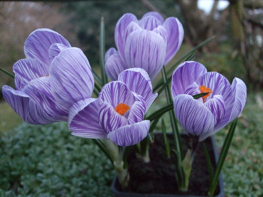 Crocus 'Pickwick' (Crocus)