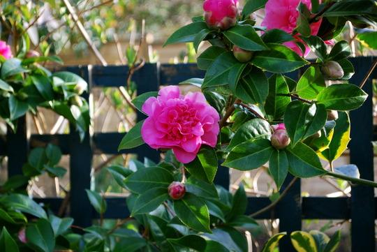 Camellia Pink (Camellia)