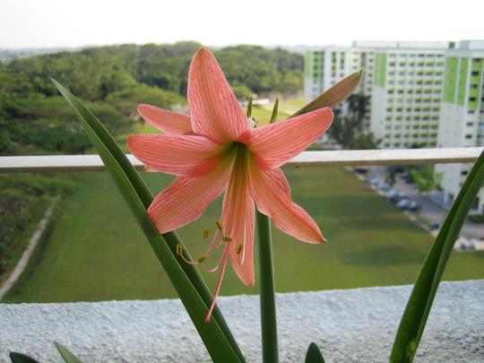 Orange hippeastrum (amaryllidaceae)