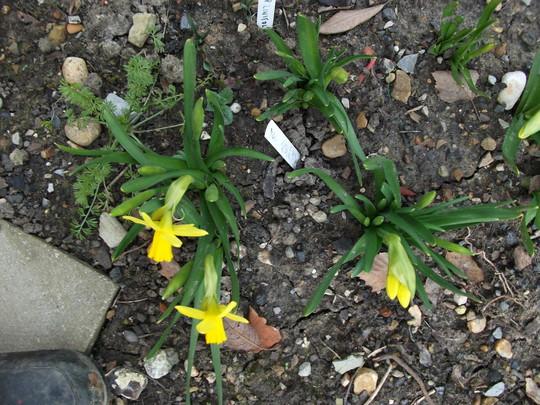 Tete-e -Tete (Narcissus)