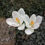 Crocus (Crocus Species)