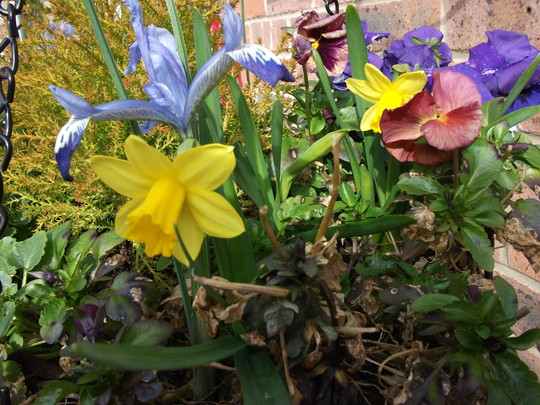 Miniuter daffs join the Iris in hanging basket