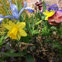 Miniuter daffs join the Iris in hanging basket