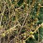 Forsythia wont be long now (Forsythia intermedia (Forsythia))